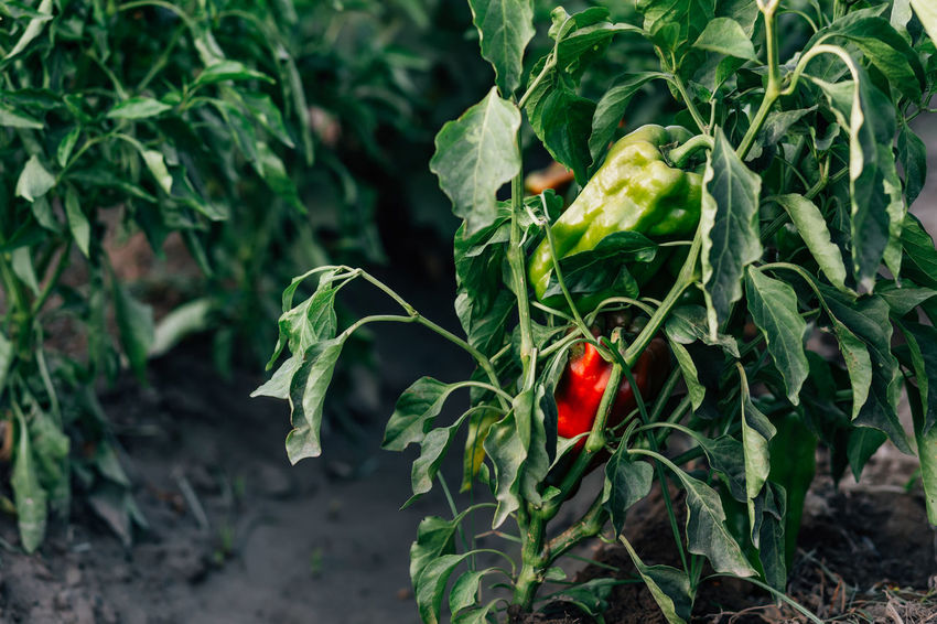 Organic peppers Field Beauty In Nature Close-up Day Food Food And Drink Freshness Green Peppers Growth Healthy Eating Leaf Nature No People Organic Organic Farm Organic Food Pepper Peppers Plant Plant Part Ripe Vegetable Wellbeing