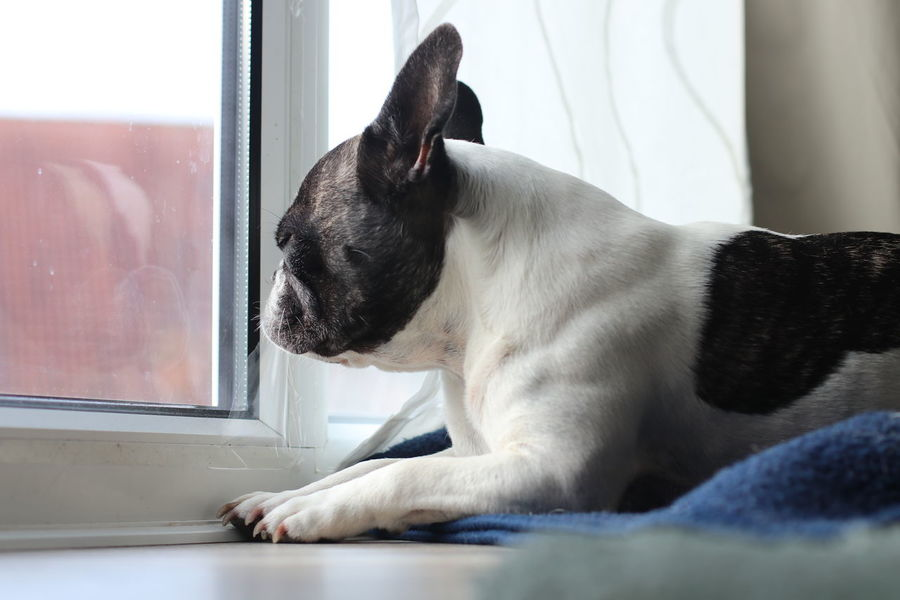 80d Bulli Bully Canon 80D Canon Eos 80d Canonphotography Cute Dog  Dog Looking Through A Window Dog Lying On Floor Dog Portrait Dog Waiting Dogs Of EyeEm Französische Bulldogge  French Bulldog Frenchbulldog Frenchie Grumpy Dog Grumpy Face Grumpydog Hundeportrait Indoors  Lying Down Sad Dog Sad Dog Eyes Sweet Dog