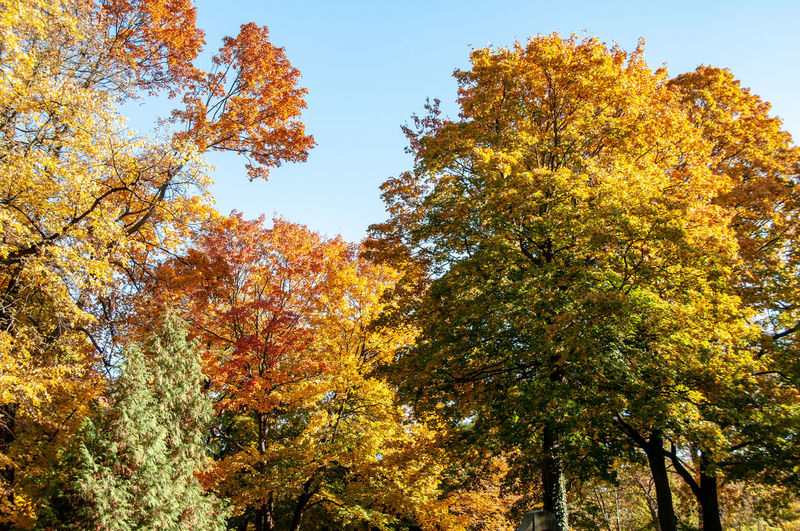 Low angle view of autumnal trees against clear sky