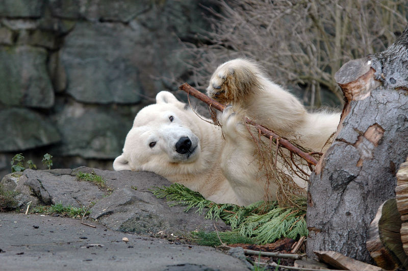 Portrait of polar bear lying down on rock at zoo