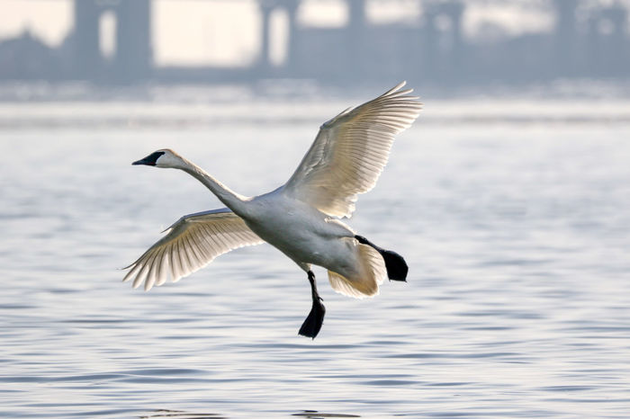 Trumpeter Swan EyeEm Best Shots EyeEm Nature Lover Animal Themes Animal Wildlife Animals In The Wild Beauty In Nature Bird Close-up Day Eye4photography  Flying Focus On Foreground Landing - Touching Down Mid-air Nature No People One Animal Outdoors Spread Wings Trumpeter Swan Water Waterfront