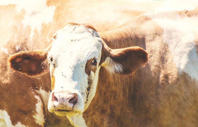 Close-up portrait of cow