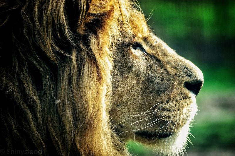 Focus... Lion
