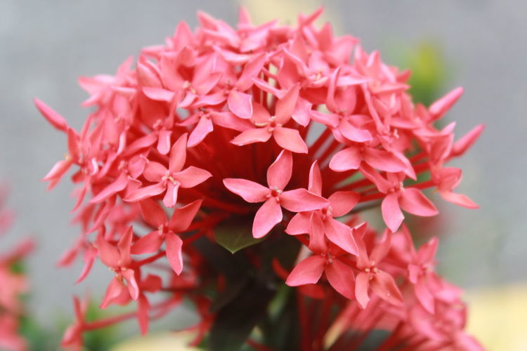 Close-up of red flowers