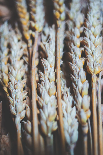 dried wheat bundle detail Wheat Bundle Dried Detail Close Closeup Background Food Nature Texture Brown Yellow Health Healthy Grain Cereal Macro Ingredient Autumn Natural Cultivation Bread Flour Seed Dry Sheaf Plenty Harvest Ripe Straw Summer Plant Cultivate Farming Growth Stem Spiked Yield Agriculture Fascicle Bunch Rural Meal Fertility Grow Harvesting Ear Farm Vertical