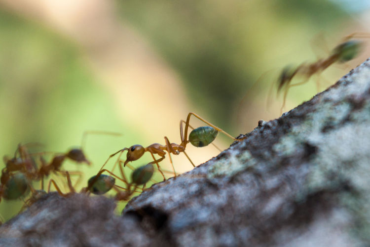 That was the first time in my life I observed green ants. It was in Australia during a walk in the rainforest. Looking at them circulating in a line, I was curious about what they were talking to each other and what was their goal. This close-up is centered on one individual, a little bit lost while its friends were moving so fast (comparably as if you stopped in the middle of a metro station at rush hour). Nevertheless, I felt a very deep connection between each individual, as if they understood that they were a piece of a puzzle that constitutes their society. Each ant is working hard, and are thinking about their global survival rather than an individual survival. This is a reason why they survived since 40 millions of years, we have a lot to learn from them as a great example of self-devotion to a better society life. Australia Green Ant Rush Hour Wood Working Hard Activity Animals In The Wild Ant Anthill Close-up Focus Group Insect Nature Never Stop Exploring On The Road Outdoors Rainforest Society Speed