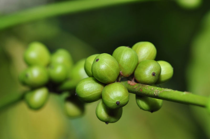 fresh coffee beans Green Color Close-up Fruit Freshness Food And Drink Growth Food Healthy Eating Plant No People Selective Focus Focus On Foreground Day Olive Nature Wellbeing Beauty In Nature Agriculture Outdoors Green Olive