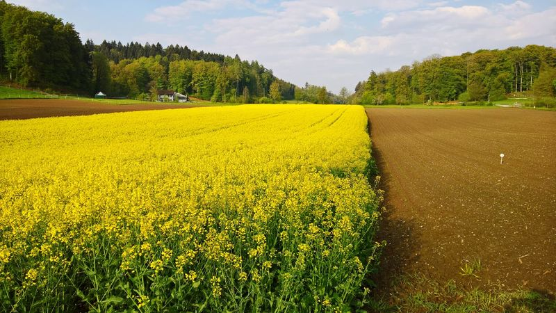 Yellow Agriculture Field Flower Oilseed Rape Rapeseed