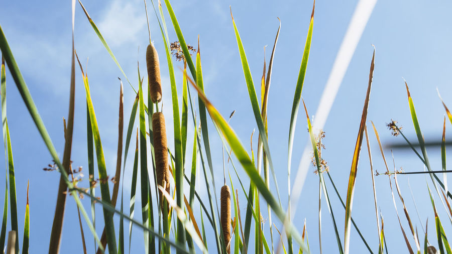 Low angle view of bamboo plants on field against sky