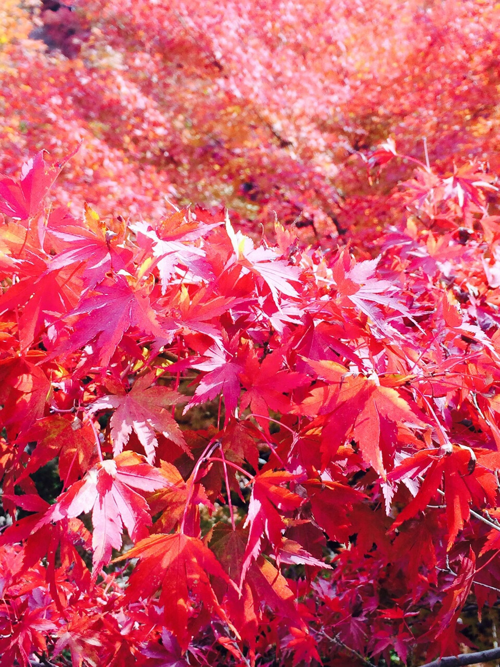 red, autumn, growth, full frame, season, beauty in nature, backgrounds, change, nature, freshness, abundance, leaf, tree, fragility, flower, day, close-up, tranquility, branch, outdoors
