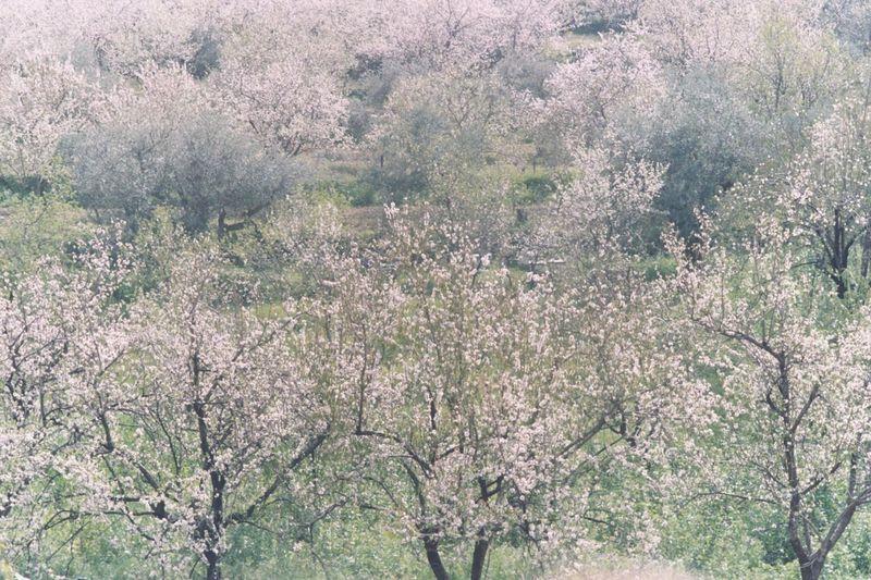 Full frame shot of cherry blossom tree