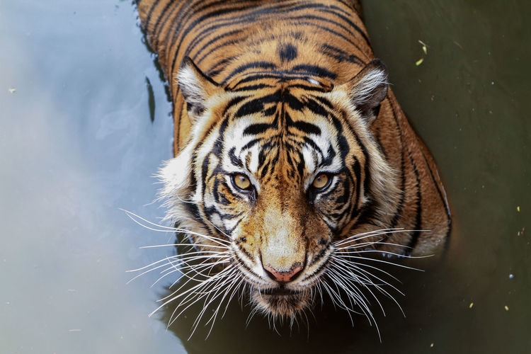 Close-up portrait of a tiger in a lake