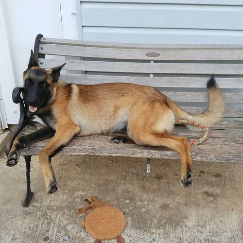 Belgian Malinois Model Happy Happydog Playful Playful Dog Leia