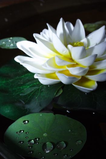 Flower Freshness Petal Nature Beauty In Nature Water Fragility Leaf Flower Head Close-up No People Growth Plant Green Color Indoors  Day Lily Pad I Want To Know Your Secret, C I Always Thinking About U, G Thank You,❤️