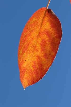 An autumn leaf against a cloudless blue sky Blue Sky Sky_collection Leaf 🍂 Autumn colors Autumn Leaves Autumn🍁🍁🍁 EyeEm Nature Lover Macro Macro Photography Macro_collection EyeEm Gallery Garden Nature Photography EyeEm Best Shots EyeEmBestPics Eyeembestshots-nature Eyeemphotography Background Designs Backgrounds Eyeem4photography Autumn Beauty In Nature Blue Blue Background Clear Sky Close-up Colored Background Leaf Natural Condition Nature No People Orange Color Outdoors Plant Plant Part Single Object Sky Tree Autumn Collection Leaves EyeEmNewHere