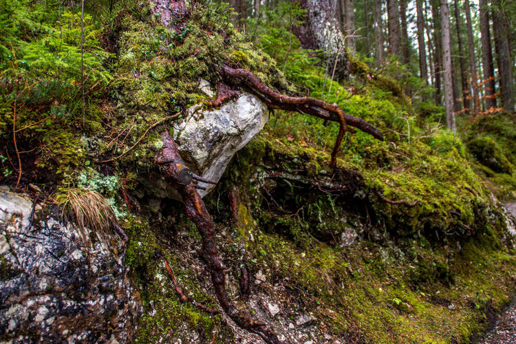 Tree Forest Plant Land Nature Day Moss No People Tree Trunk Trunk WoodLand Tranquility Outdoors Water Growth Root Green Color Wood Non-urban Scene Plant Part Stream - Flowing Water Dead Plant Bark