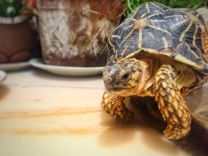 Star tortoise Tortoise Tortoise Shell Reptile
