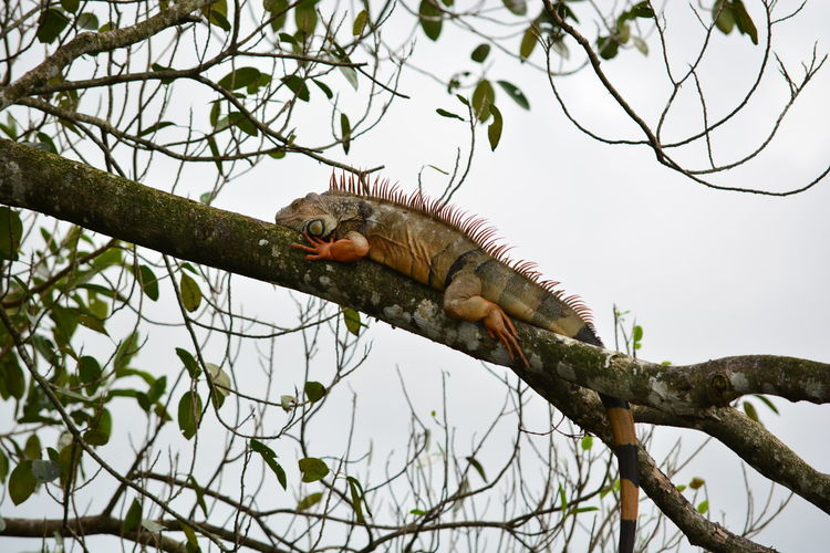 Nature Outdoors Lizard Reptile Hanging Out Florida Everglades  Colourful On A Tree