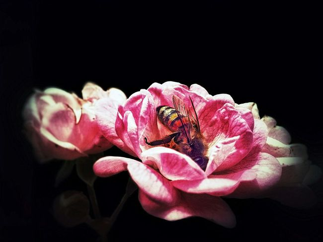 Flower Roses Pink Bee Photography