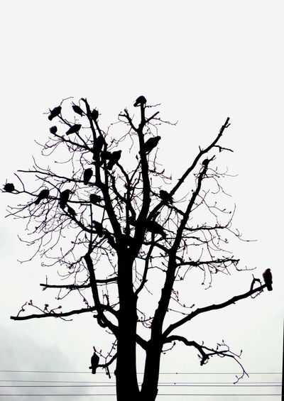 Black & White Blackandwhite Photography Tree Beauty In Nature Nature Birds_collection Birds🐦⛅ Art Is Everywhere Tree And Birds birds like a leaves Birds Of EyeEm  Minimalism Photography Silhouette Bird Sky Outdoors No People Branch Day No Edit No Filter Without Filters Mobilephotography Togetherness The Street Photographer - 2017 EyeEm Awards