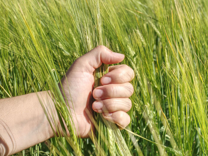 Farmer hand hold spikelets unripe wheat before proces of herbicides and fertilizers for big harvest