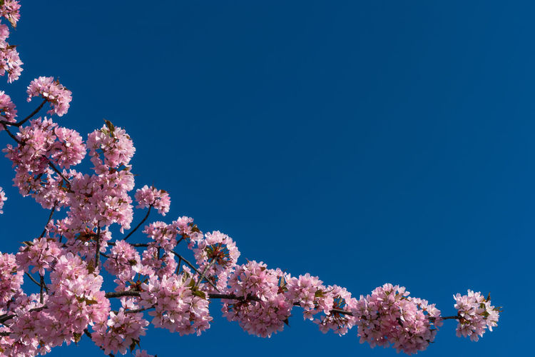 Cherry blossoms against blue sky Tree Flower Clear Sky Branch Flower Head Springtime Pink Color Blue Blossom Sky Cherry Blossom Botany Cherry Tree Blooming In Bloom