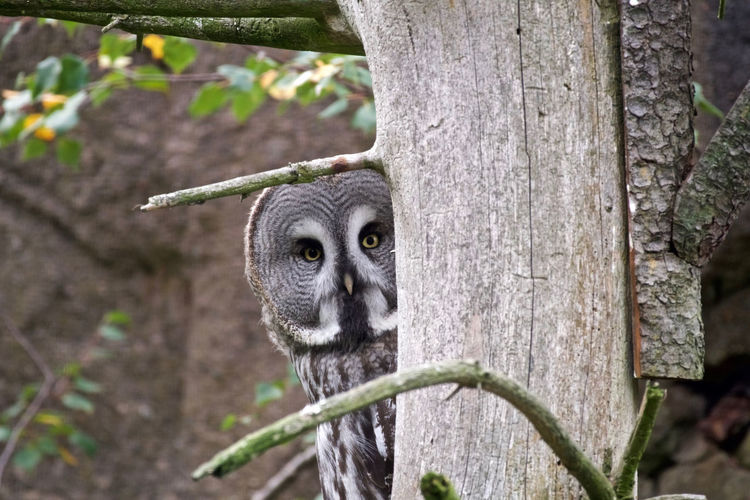 In Sweden Great Grey Owl Strix Nebulosa Animal Themes At Skansen Stockholm Close-up Day Looking At Camera No People One Animal Outdoors Portrait