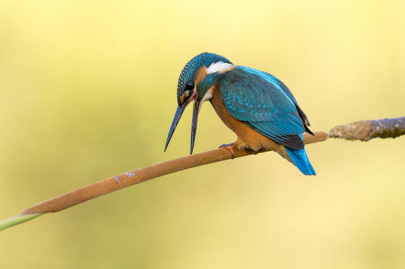 Animal Animal Themes Animal Wildlife Animals In The Wild Bird Branch Focus On Foreground Kingfisher Kingfisher Bird No People One Animal Perching Vertebrate