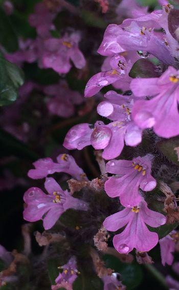 アジュガ IPhoneography Flowerporn Flowers Plants Flower Nature_collection EyeEm Flower Nature