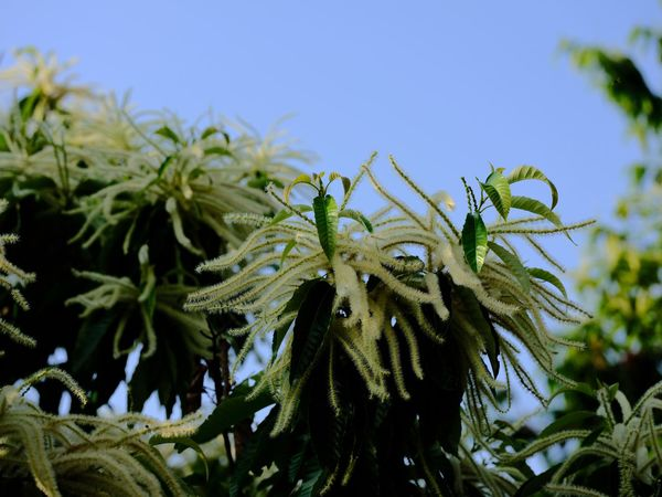 Chestnut Flowers 栗の花 Plant Growth Leaf Beauty In Nature Sky No People Plant Part Close-up Focus On Foreground Low Angle View Outdoors Green Color Sunlight Tree Tranquility Flowering Plant