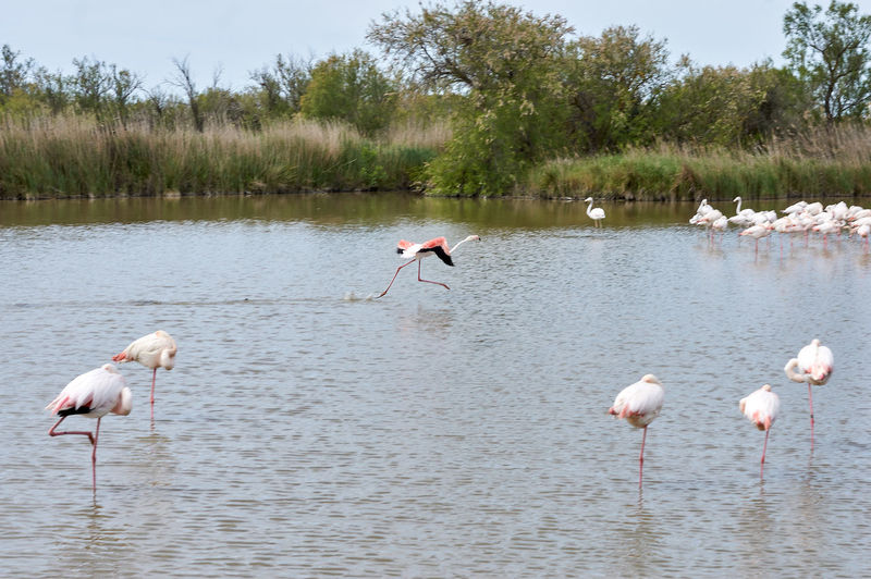Camargue, France. Pink flamingo running on the water Partner Collection Pink Flamingos Water Animals In The Wild Bird Animal Themes Vertebrate Animal Wildlife Group Of Animals Animal Lake Flamingo Beauty In Nature Nature No People Day Plant Wading Pink Color Reflection Waterfront Outdoors Freshwater Bird Animal Neck Flock Of Birds