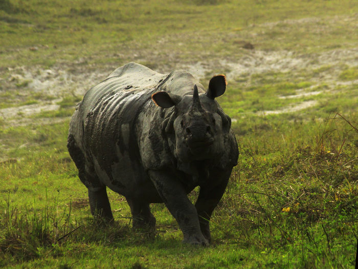 The moving Tank! Animal Photography Animals In The Wild Attacking  Bulletproof Skin Canon Canonphotography Huge Kaziranga National Park Mammal Moving Tank Muddy Pride Of Assam Rhino Rhinoceros Rhinoceros Unicornis