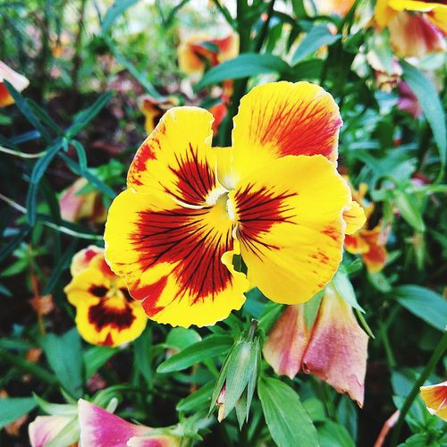 Flower Petal Flower Head Fragility Beauty In Nature Freshness Growth Nature Plant Day Blooming Close-up No People Yellow Outdoors Springtime Pansies Pansy Flower Plant Pansy Orchid Beauty In Nature Nature Textured  Yellow Flowers Textured