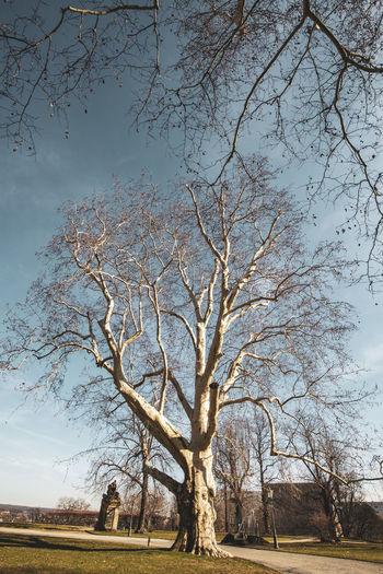 Dresden Tree