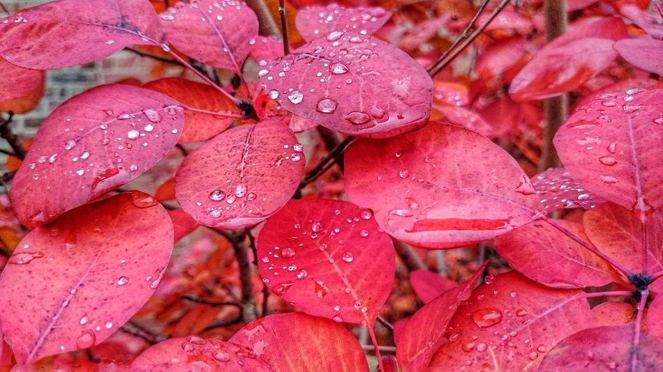 Autum colors Red Freshness Full Frame Close-up Wet Nature Backgrounds Fragility Autumn Collection Autumn Colours Autumn Background Leaves🌿 Leaf 🍂 HRD Effects First Eyeem Photo Many Color Palette Drops Millennial Pink Art Is Everywhere Neon Life