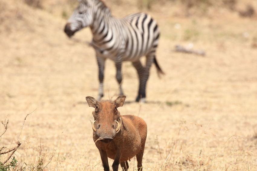 Warthog Zebra Africa Massai Mara Eye In Eye Face To Face Wildlife Wilderness Animal Themes Animals In The Wild Friendship Safari Animals Safari Mammal National Parks Kenya