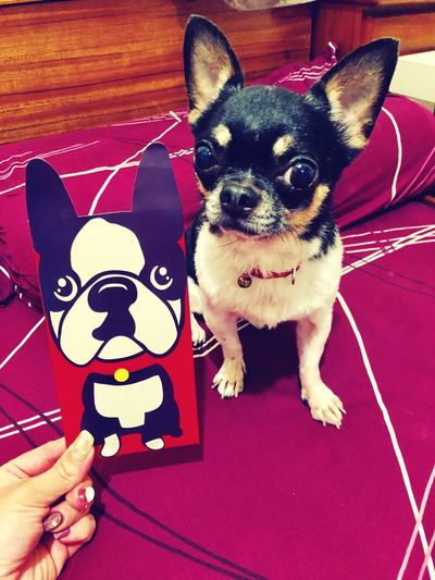 Red envelope & chiwawa Dog Chiwawa Mammal Domestic Animals Domestic Dog Pet Owner First Eyeem Photo Chihuahua - Dog Pets