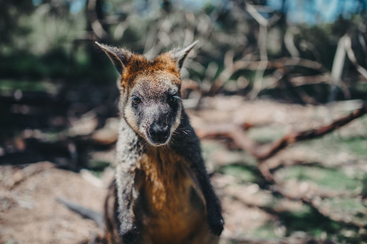 Portrait of a wallaby on land