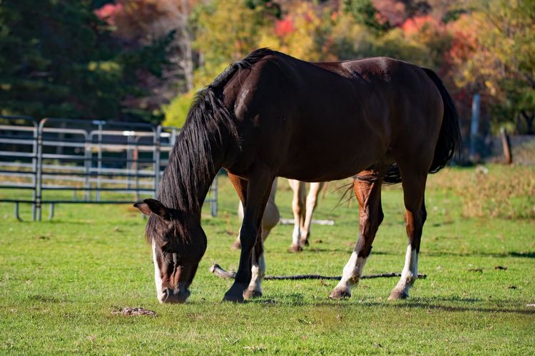 Side View Of Horse Grazing On Field
