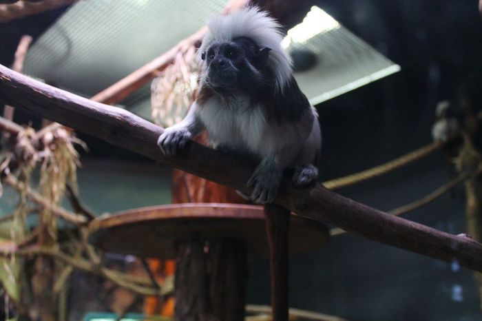 Cotton Tailed Tamarin Cute Adorable Animal Themes Sitting Fluffy Small Cute Animals First Eyeem Photo