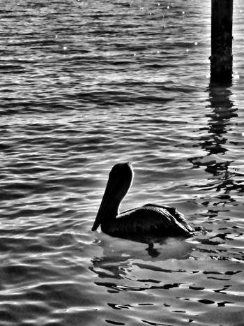 Birds Of Rockport Texas Birds_collection Birds Of EyeEm  Birds🐦⛅ Sea Birds Collection Rockport Texas Water Reflections Beachphotography Nature Swimming Sea Life Bird Mammal