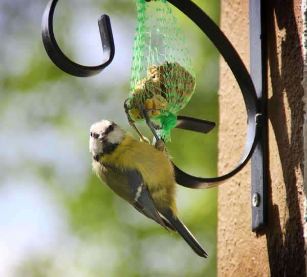 Close-up of blue tit on bird feeder