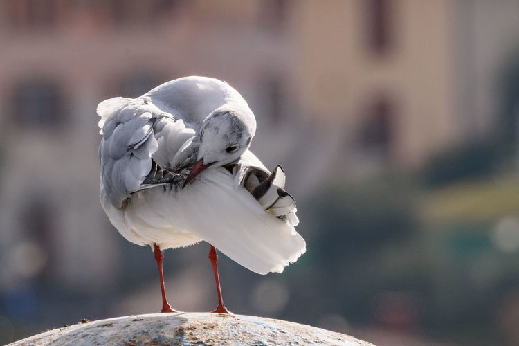 Gull that cleans the plumage. gull that cleans the plumage portrait image