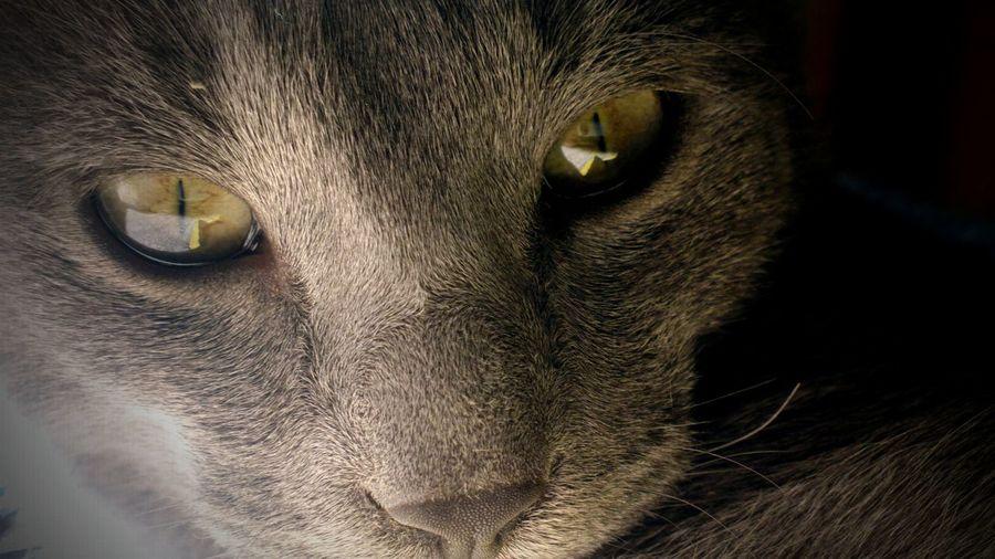 Animal Eye Cat Close-up Green Eyes Pets Rusian Cat