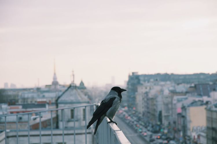 Close-Up Of Raven Perching On Railing In City Against Sky