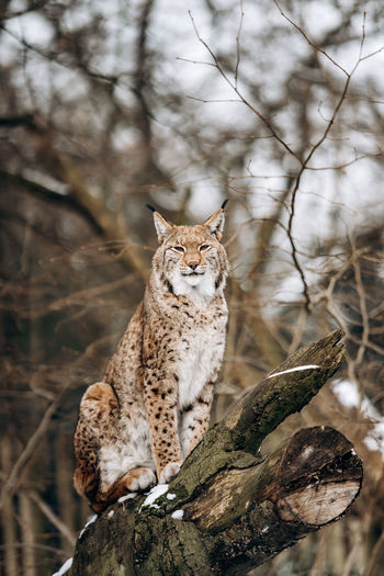 Lynx on bare tree in forest