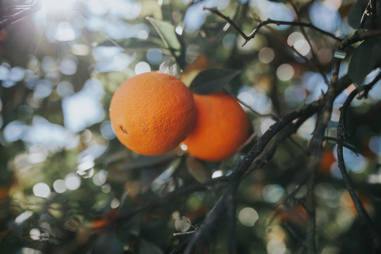 Low angle view of orange growing on tree
