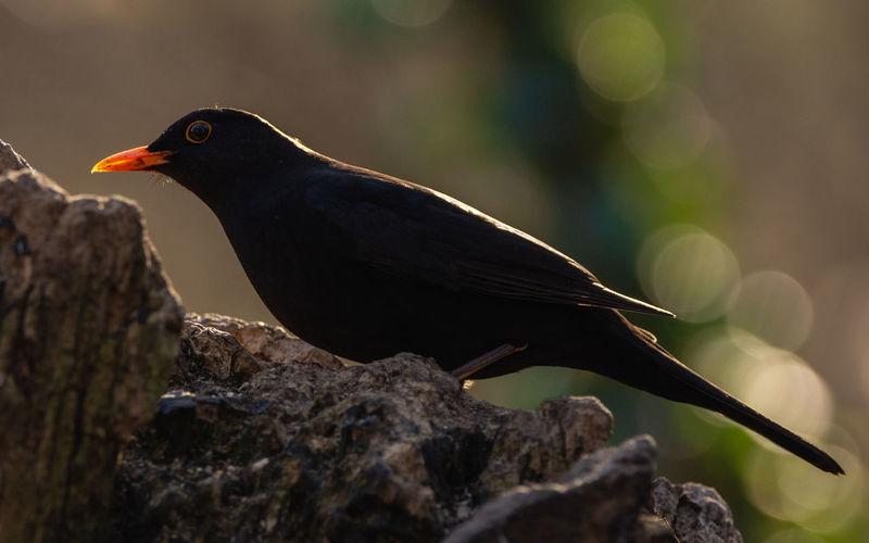 Backlit blackbird Blackbird Blackbird Backlit Backlit Animal Themes Bird Animal Animal Wildlife Nature Garden Bird Bird Photography
