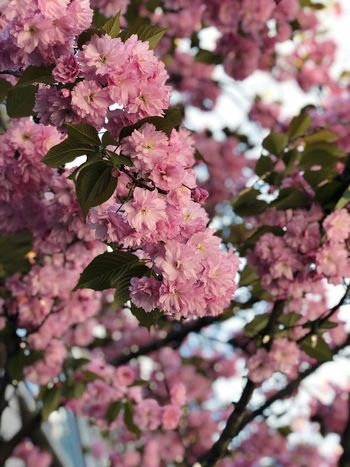 Spring flower 🌸 Flowering Plant Flower Plant Fragility Freshness Vulnerability  Beauty In Nature Springtime Branch Growth Pink Color Blossom Nature No People Cherry Blossom Botany Tree Close-up Petal Day