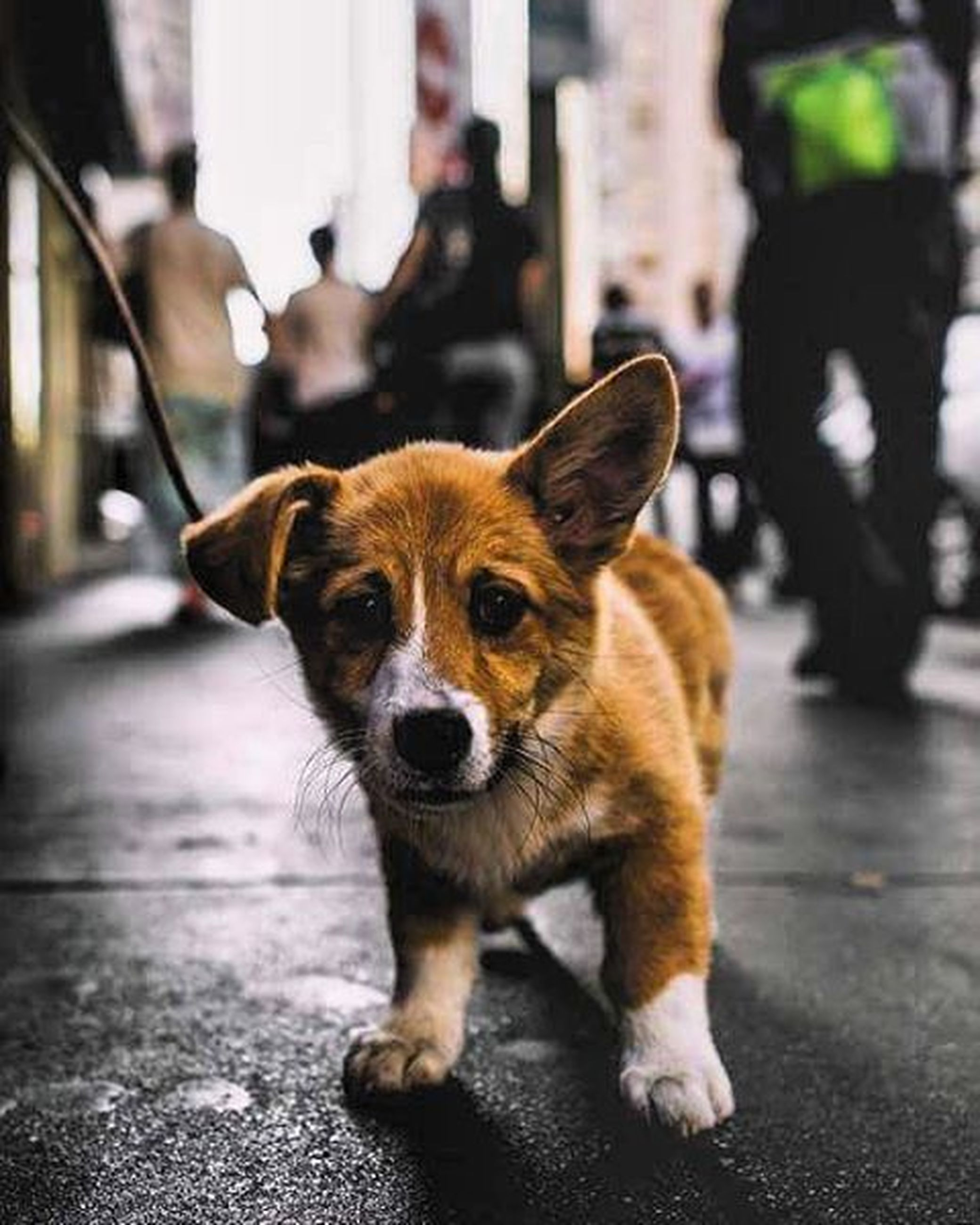 pets, dog, domestic animals, animal themes, one animal, mammal, portrait, looking at camera, focus on foreground, street, sitting, incidental people, pet leash, front view, day, close-up, sidewalk, indoors, standing, full length